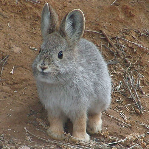 Pygmy rabbit / Photo by Beth Waterbury