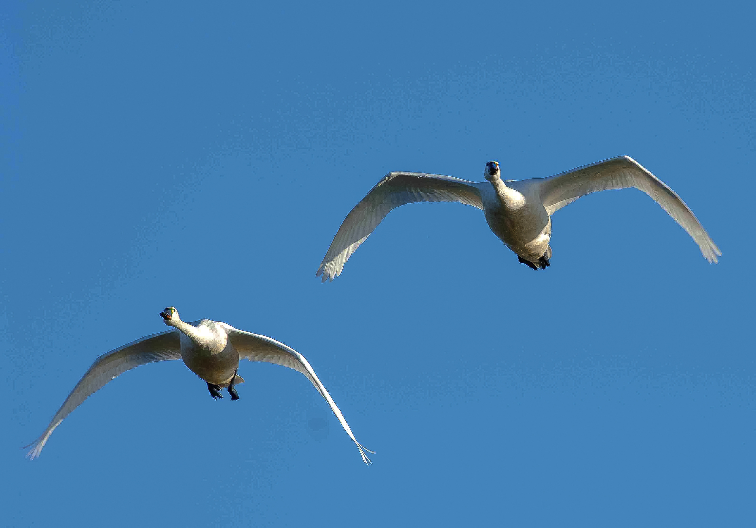 two trumpeter swans flying March 2006