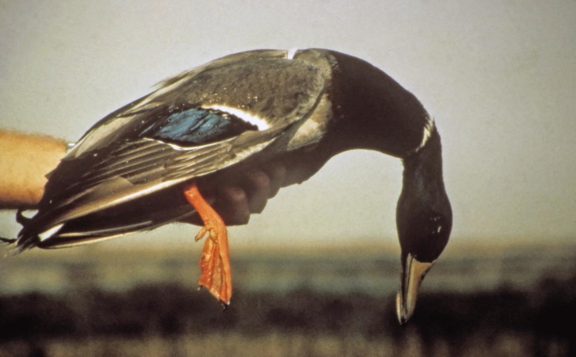 mallard-avian-botulism-m-drew