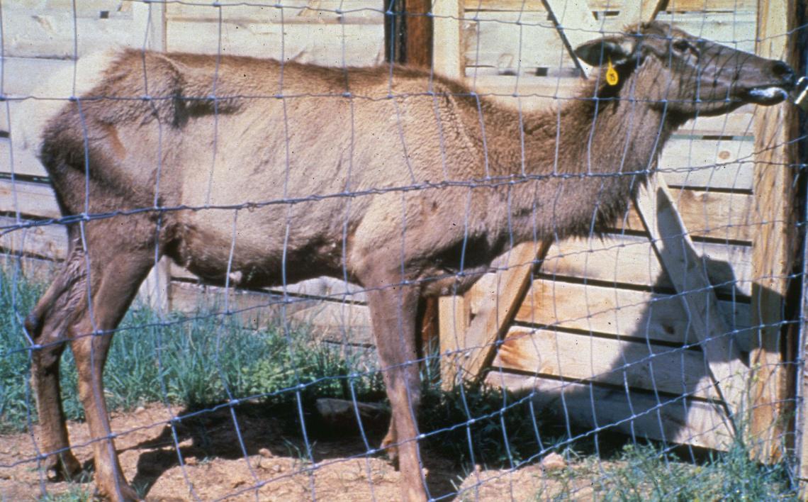elk-chronic-wasting-disease2-bethandtom-_wda
