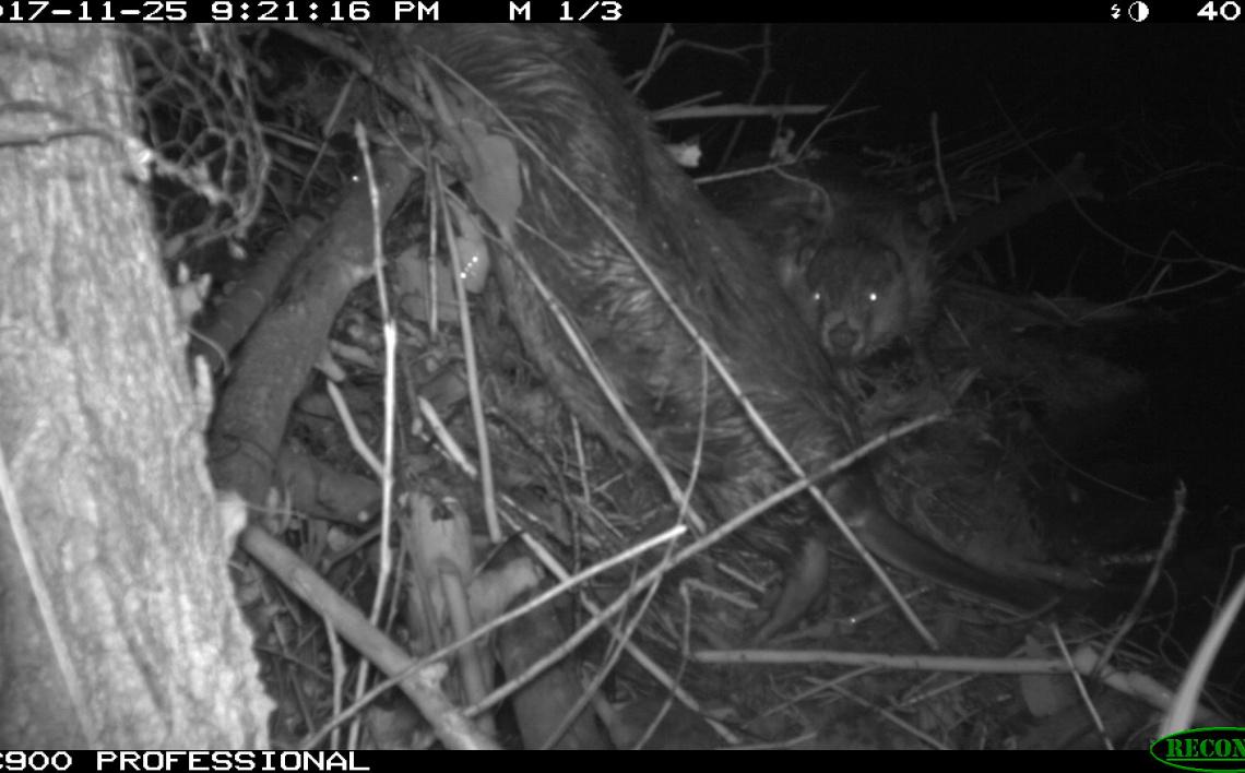 Beaver MKNC TrailCam 2