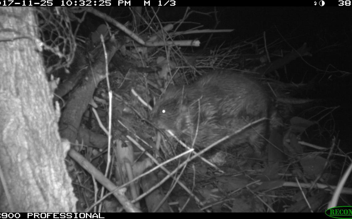 Beaver TrailCam 3