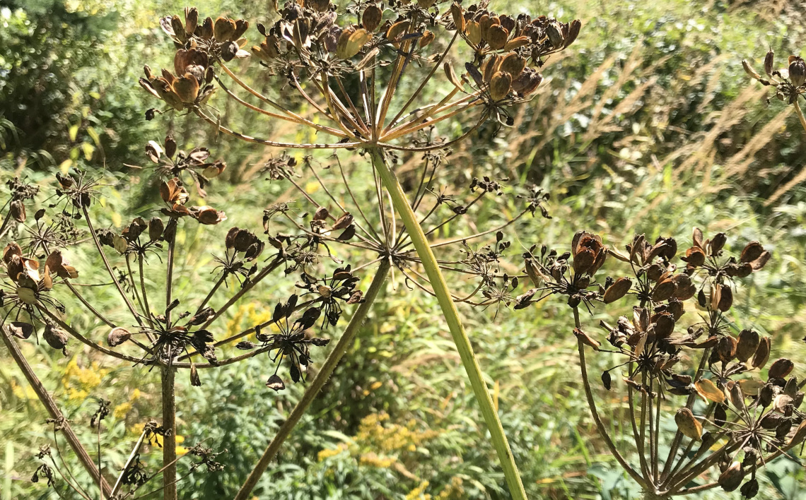 img_7577_cropheracleum maximum in seed