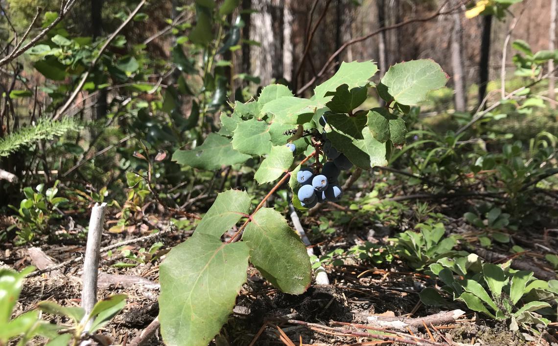 mahonia aquifolium with berries
