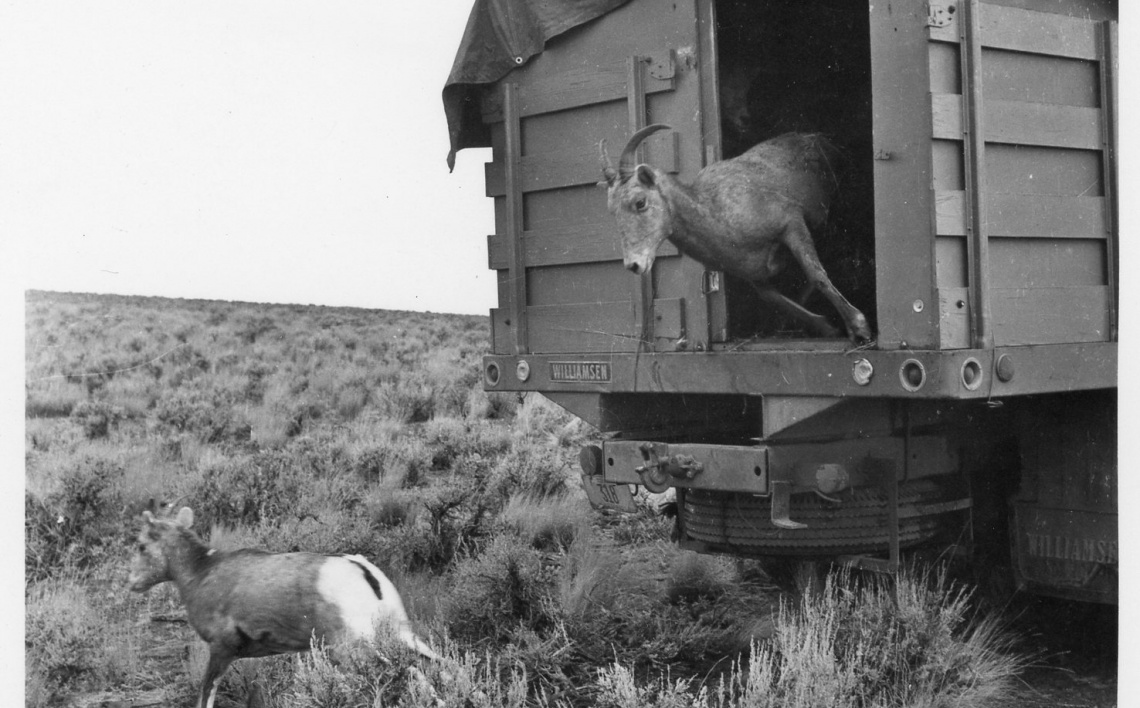 Little Jacks Creek Bighorn Sheep Release