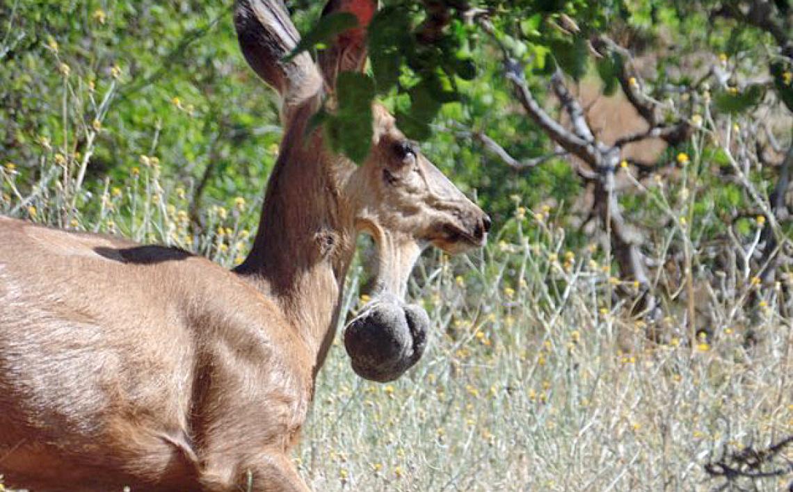 mule-deer-chin-tumor