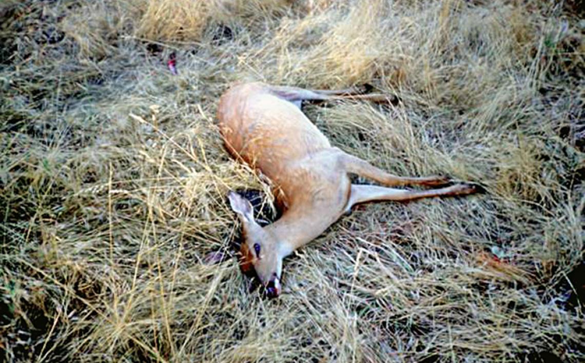 whitetailed-deer-carcass-epizootic-hemorrhagic-disease
