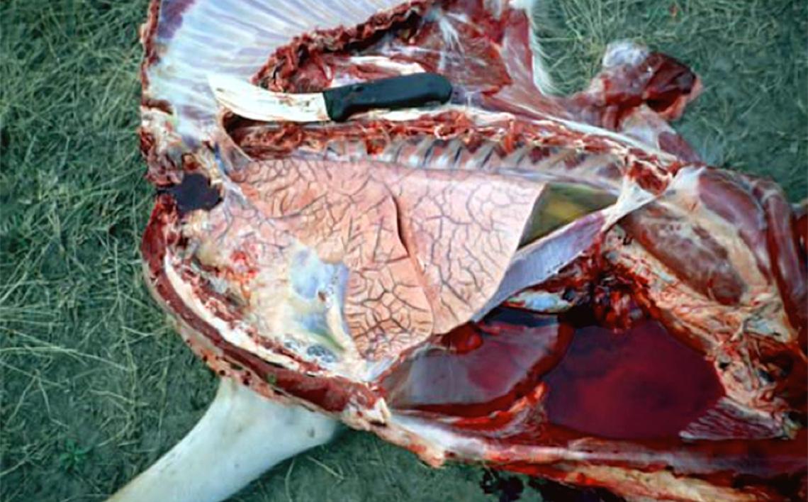 whitetailed-deer-epizootic-hemorrhagic-disease