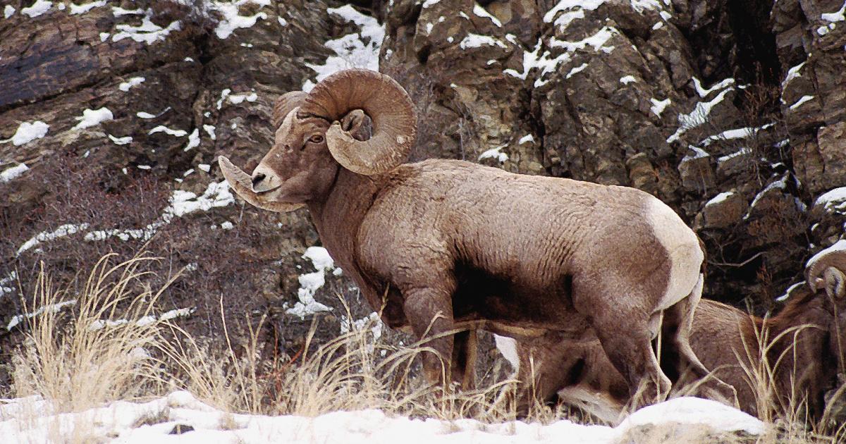 Bighorn Sheep / Photo by Gary Powers