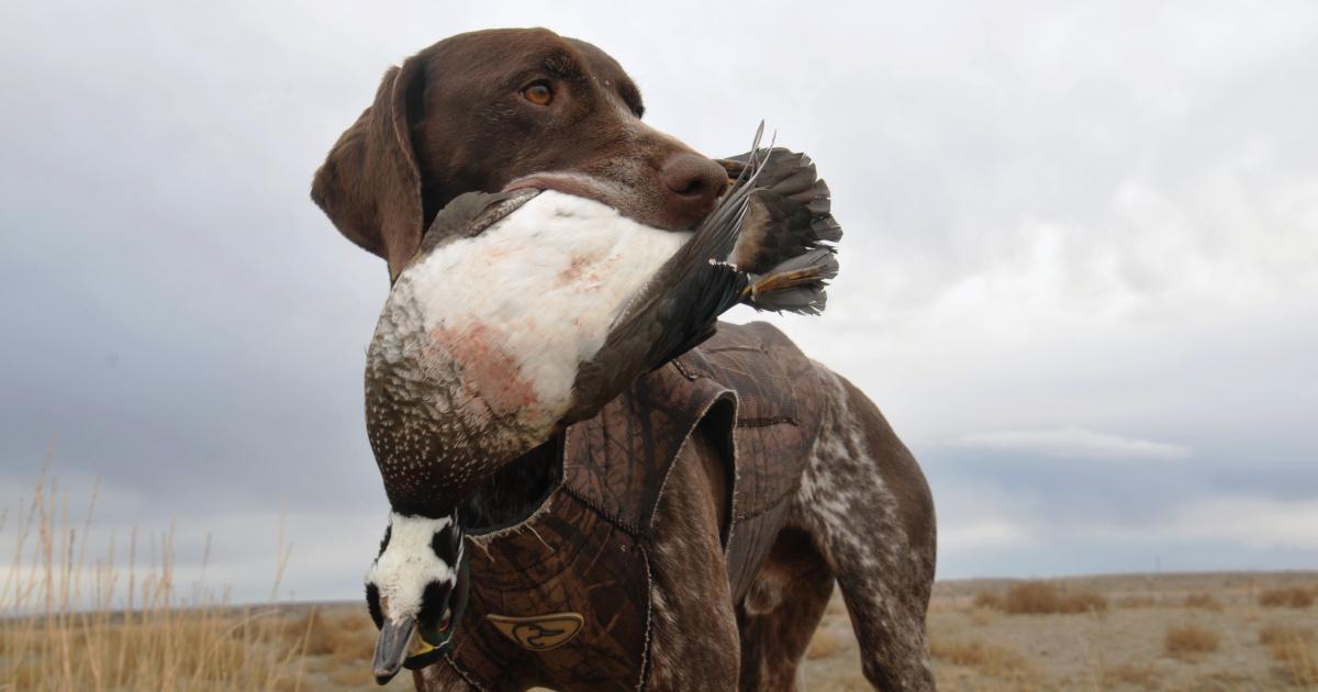 Duck hunting, bird dog, waterfowl, C.J. Strike WMA, wood duck, Southwest Region
