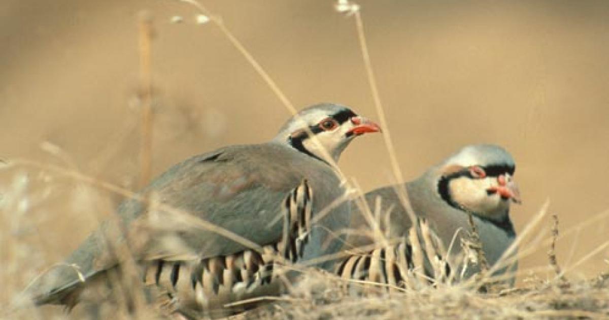 Chukars in dry grass