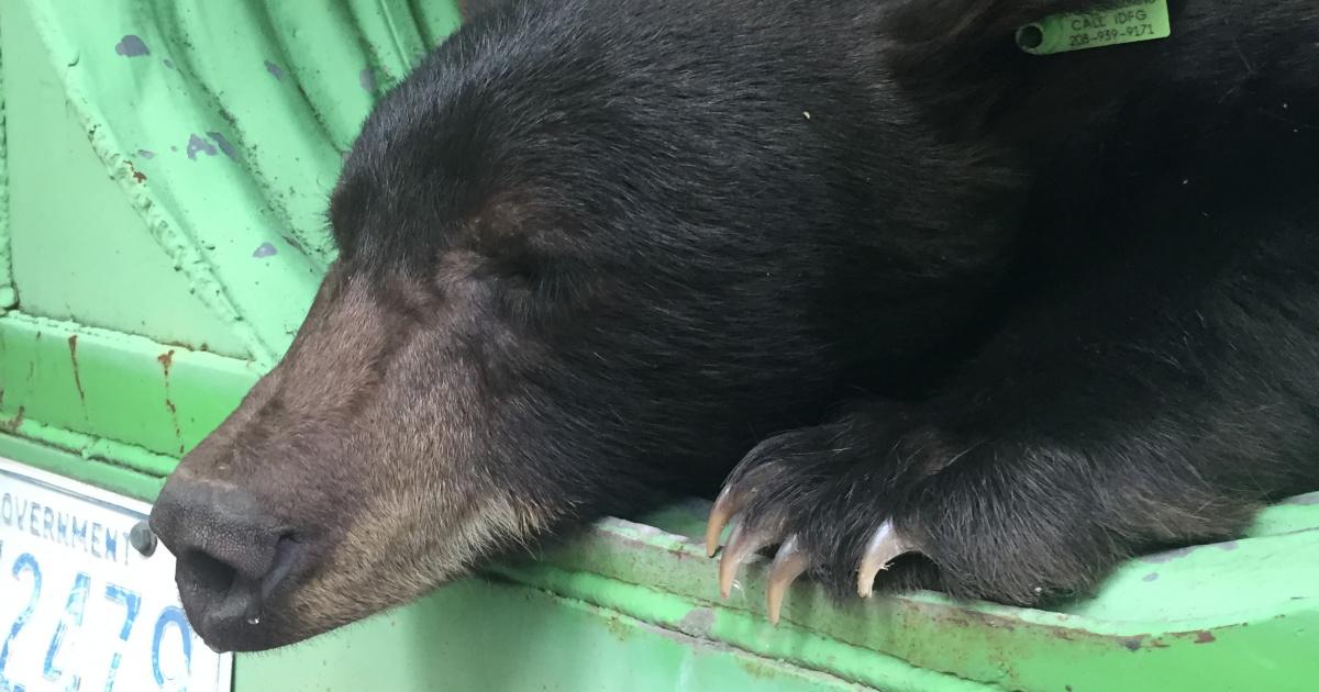Black bear captured at Pocatello Zoo 2018