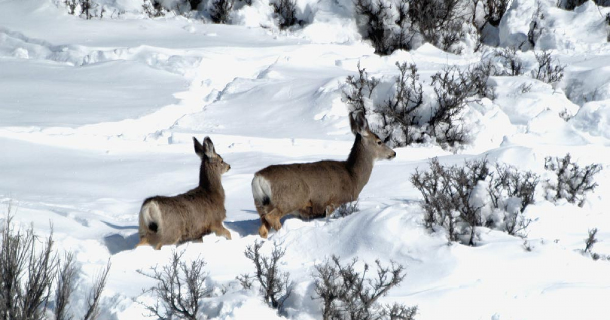 Doe and fawn in heavy winter snow