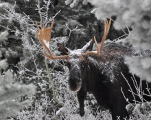 young bull moose in snow and trees November 2011 head shot James Deitrick