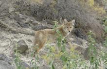 coyote-a6df-5c6cea130987_1_201_a.jpeg