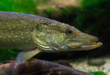 Northern pike in the Aquarium Dubuisson (fr) Brochet_Luc_Viatour.jpg