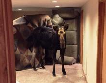 Moose in basement in Hailey, Idaho 2016