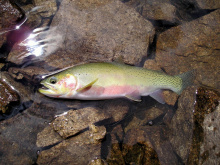 A Westslope Cutthroat from an Idaho alpine lake