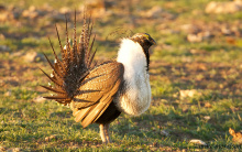 greater sage grouse with fan up April 2014 Mike Morrison