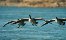 Three Canada geese landing on water