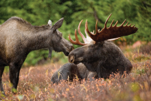 bull moose and cow moose laying in grass  February 201