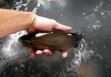 hatchery_rainbow_trout