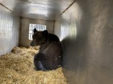 Bear Cub in a trap