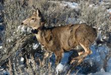 Mule deer radio collar1689.jpeg