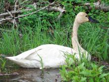 Tundra swan on Coeur d'Alene River