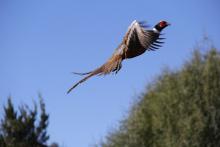 ringnecked pheasant flying medium shot November 2014