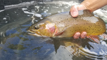 South Fork Yellowstone cutthroat trout