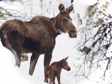 collar_moose_and_calf