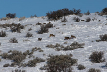 Mule deer in winter snow and sagebrush
