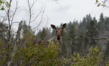 Moose at Black Lake