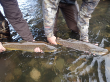 Lower Boise River Brown Trout (2019)