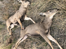 poached_deer_south_of_if_10-21-19