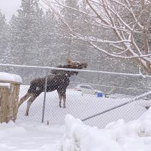 Moose calf in town