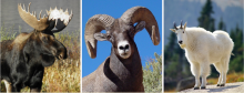 Photo collage of a moose, bighorn sheep, and mountain goat
