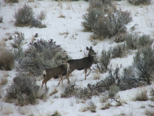 Mule Deer on the Boise River WMA