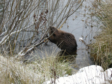 beaver chewing on a branch during the Winter