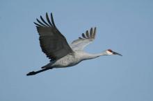 sandhill crane flying January 2015
