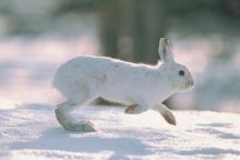 snowshoe hare in snow November 2013