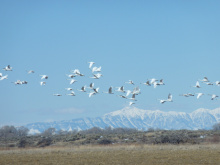 trumpeter swans in flight during a swan survey at Deer Parks Wildlife Mitigation Unit outside Roberts medium shot January 2010