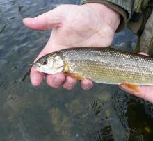 Mountain whitefish is a game fish native to Idaho streams.