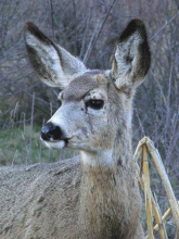 yearling mule deer at the MK Nature Center by Tony Attanasio head shot