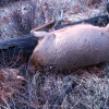 Collared cow elk dead and left to waste