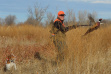 ring necked pheasant in flight with a hunter and his dog November 2011