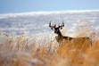 White Tail Deer Camas Wildlife Refuge