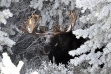 large bull moose in snow covered trees November 2011 James Deitrick