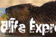 Wildlife Express Banner: Beavers